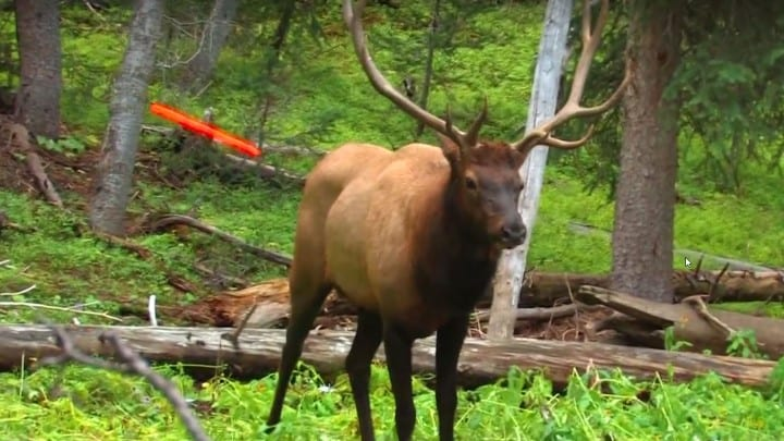 Deadliest Elk Shot Ever Caught On Camera