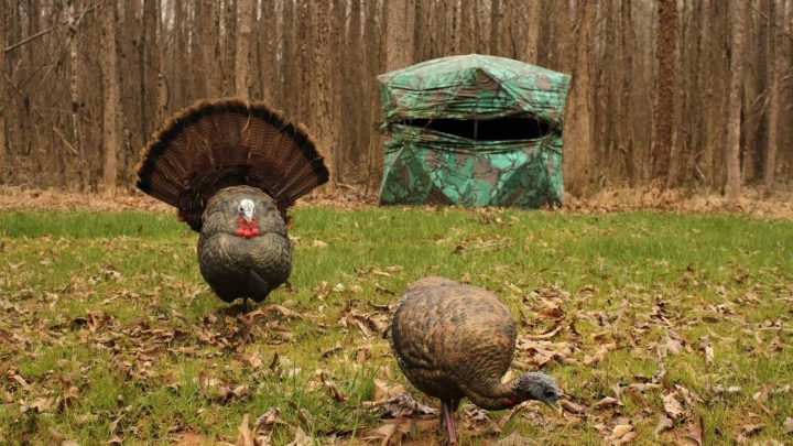 Full strut turkey decoy in front of ground blind