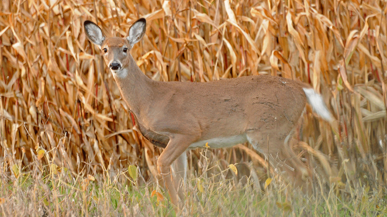 doe standing in cornfield