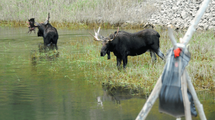 two-bull-moose-in-lake